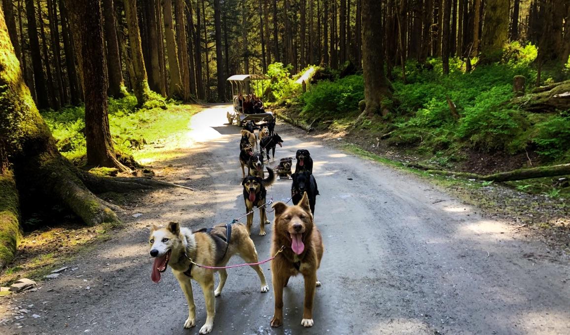 Sled dogs in Juneau, Alaska